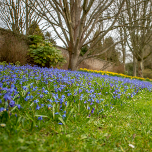 Bluebells on a slope with trees and daffodils in the background