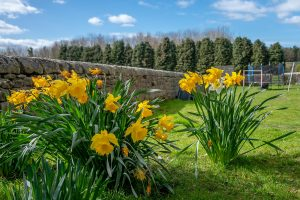2 clumps of daffodils by a stone wall in a garden with trampoline in the background