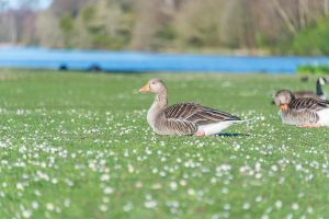 2 grey geese sitting on a lawn of daisies with a lake in the background