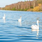 4 swans swimming one in front of the other on a lake with trees on the other bank